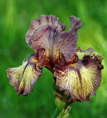 Photograph - Purple And Yellow Iris In Spring by Sheila Brown