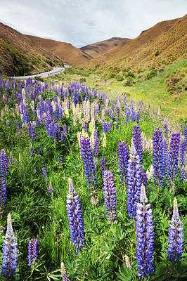 Photograph - Purple And Yellow Lupins Along Crown Range Road In New Zealand by Daniela Constantinescu