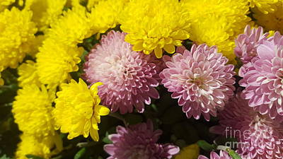 Photograph - Purple And Yellow Mums Flowers by Michelle Jacobs-anderson