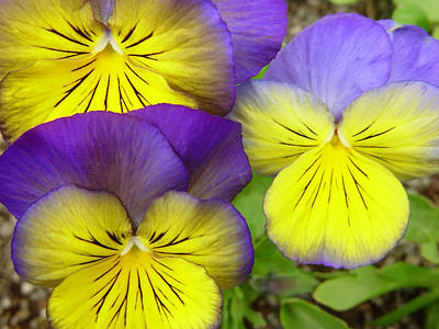 Photograph - Purple And Yellow Pansies by Utah Images