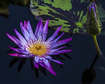Purple And Yellow Water Lily Art Print by Lindley Johnson