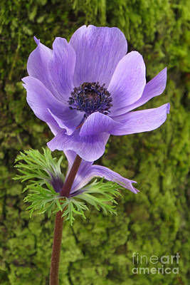 Photograph - Purple Anemone by Frank Townsley