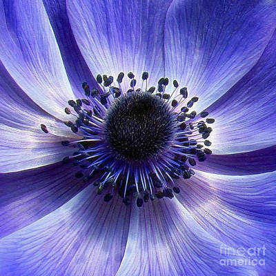 Purple Anemone Macro Art Print by Sue Melvin