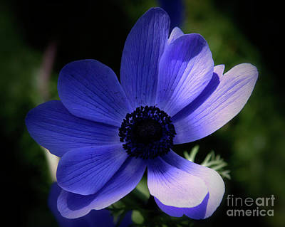 Photograph - Purple Anemone by Stephen Melia