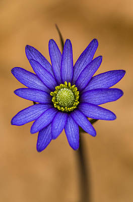 Photograph - Purple Anemone by Steven Schwartzman