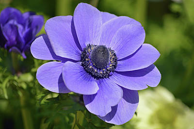 Photograph - Purple Anemone by Terence Davis