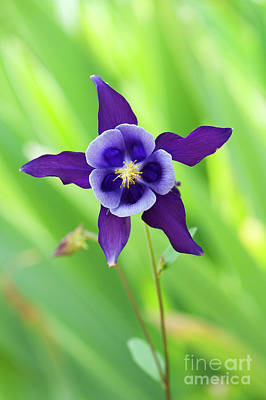 Photograph - Purple Aquilegia Flower by Tim Gainey