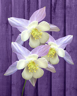 Photograph - Purple Aquilegia by Gill Billington