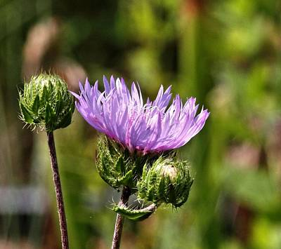 Photograph - Purple Aster by Katherine White