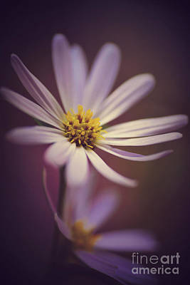 Photograph - Purple Aster by Kelly Nowak