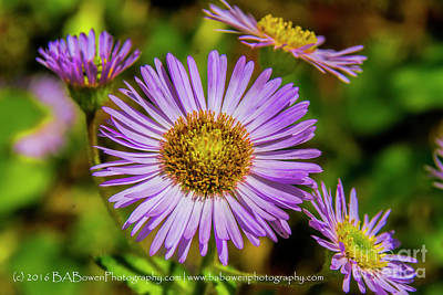 Photograph - Purple Asters by Barbara Bowen