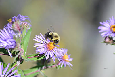 Photograph - Purple Asters - Bumble Bee by rd Erickson
