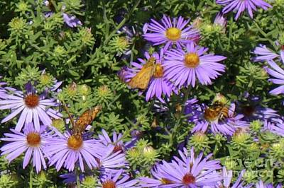 Photograph - Purple Astors With Butterflies by Janette Boyd