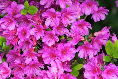 Photograph - Purple Azaleas by Dawn Cavalieri