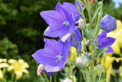 Photograph - Purple Balloon Flower by Nina Kindred