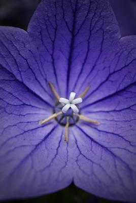 Balloon Flower Digital Art - Purple Balloon Flower by Richard Andrews