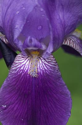 Wilderness Camping - Purple Bearded Iris 2 by Bob Corson