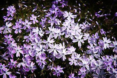 Photograph - Purple Beauties by Milena Ilieva