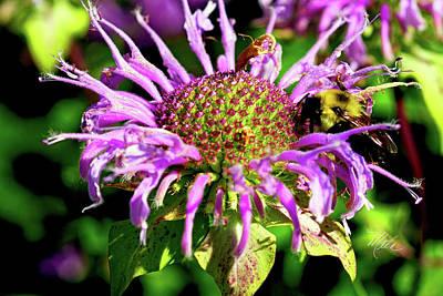 Photograph - Purple Bee Balm by Meta Gatschenberger