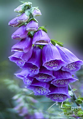 Purple Bell Flowers Foxglove Flowering Stalk Art Print