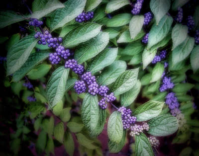 Photograph - Purple Berries by Ann Powell