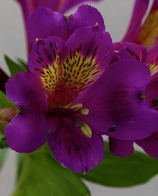 Photograph - Purple Bloom by Dennis Reagan