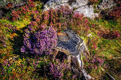 Photograph - Purple Bloom Of Stump by Jenny Rainbow