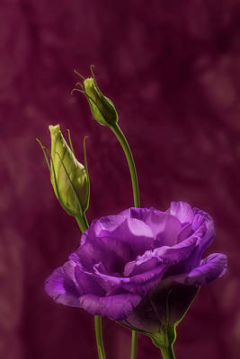 Photograph - Purple Blossom And Buds by Garry McMichael