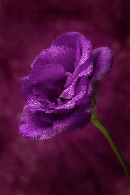 Photograph - Purple Blossom With Morning Dew by Garry McMichael