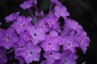 Photograph - Purple Blossoms by David Lane