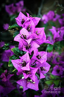 Bougainvillea Leaves Photograph - Purple Bougainvillea by Robert Bales