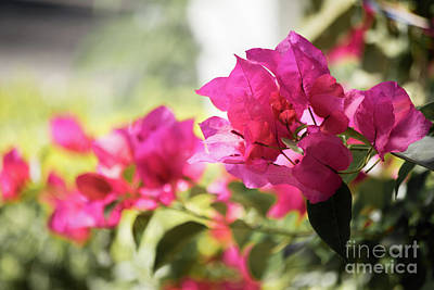 Photograph - Purple Bougainvilleas In Guatemala by Cesar Padilla