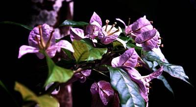 Photograph - Purple Bougainvilleas by L L