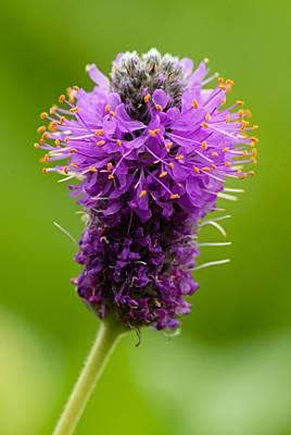 Photograph - Purple Bristle Brush by Larry Ricker
