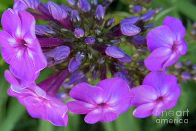 Photograph - Purple Burst by Christy Garavetto