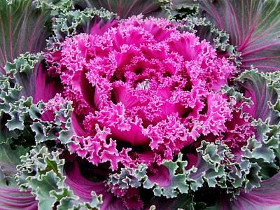 Photograph - Purple Cabbage by Michiale Schneider