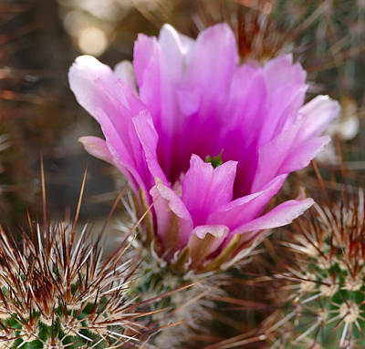 Photograph - Purple Cactus Bloom by Laurel Powell