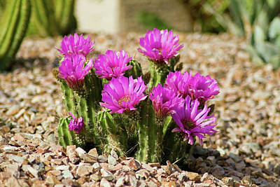 Photograph - Purple Cactus Blooms by Bill Barber