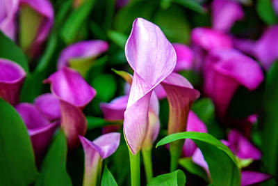 Calendar Photograph - Purple Calla Lilies by Az Jackson