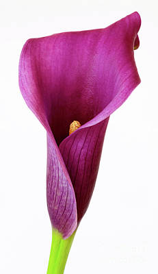Photograph - Purple Calla Lily by Colin Rayner