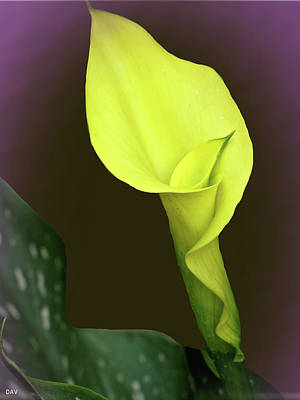 Photograph - Purple Calla Lily by Debra     Vatalaro