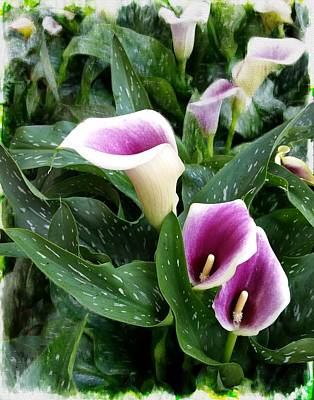 Photograph - Purple Calla Lily by Joe Duket