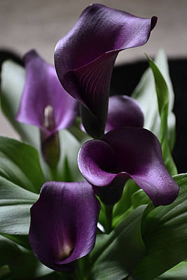 Photograph - Purple Callas by Nadalyn Larsen