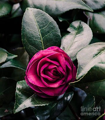 Photograph - Purple Camellia   by Andrea Anderegg