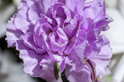 Kitchen Spices And Herbs - Purple Carnation 1 by Bob Corson