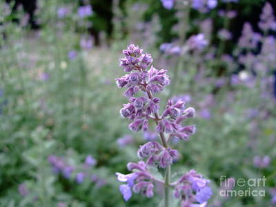 Photograph - Purple Cat Mint by Julia Underwood