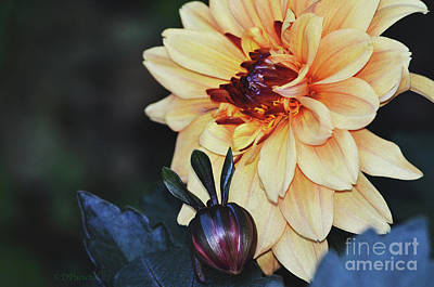 Photograph - Purple Centered Dahlia And Bud by Debby Pueschel