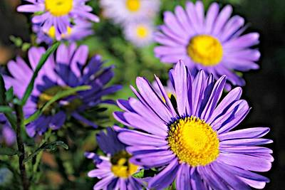 Fine Dining - Purple China Aster by Vicki Dreher