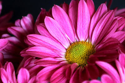 Photograph - Purple Chrysanthemum Close-up by Sheila Brown