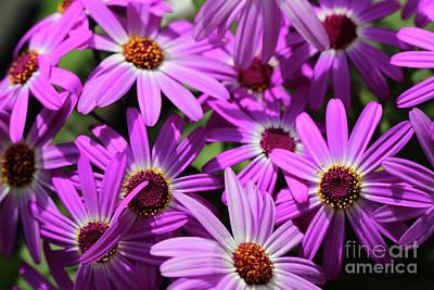 Wine Corks Royalty Free Images - Purple Cineraria Flowers Royalty-Free Image by Karen Adams